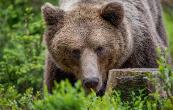 Salvează urșii